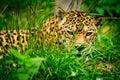 Jaguar - Panthera onca Royalty Free Stock Photo
