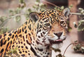 Jaguar - Panthera onca. Wildlife Stock Photo