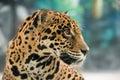 Jaguar ( Panthera onca ) Royalty Free Stock Photo