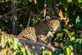 Jaguar peruvian Amazon jungle Madre de Dios Peru Royalty Free Stock Photo