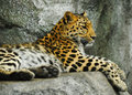 Jaguar resting Stock Photography