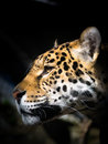 Jaguar staring into distance wild cat portrait Royalty Free Stock Image
