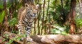 Jaguar walking in belize nature Stock Photos