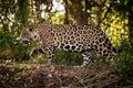 Jaguar Walks Right To Left Thr...