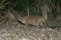 Jaguarundi herpailurus yaguarondi single mammal on ground in belize Royalty Free Stock Photo