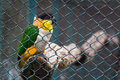 Jail bird colorful depressed and sleepy parrot in zoo cage Royalty Free Stock Photo