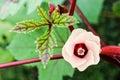 Jamaica sorrel flower pink blossom on tree of or hibiscus sabdariffa in thailand Stock Photos