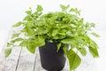 Jambu paracress acmella oleracea spice herb healing plant on wood Royalty Free Stock Image