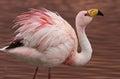 James Flamingo at Laguna Colorada Bolivia Royalty Free Stock Photo