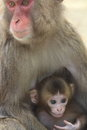 Japan ape two animal mammals wildlife sightseeing light the family new year cards oita prefecture oita city shanghai the Stock Image