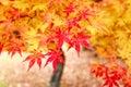 Japan autumn Royalty Free Stock Photo