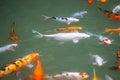 Japan fish call Carp or Koi fish colorful, Many fishes many colo Royalty Free Stock Photo