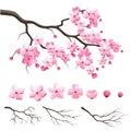 Japan sakura cherry branch with blooming flowers