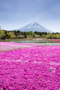 Japan Shibazakura Festival with the field of pink moss of Sakura or cherry blossom with Mountain Fuji Yamanashi Royalty Free Stock Photo
