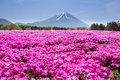 Japan Shibazakura Festival with the field of pink moss of Sakura or cherry blossom with Mountain Fuji Yamanashi, Japa Royalty Free Stock Photo