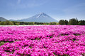 Japan Shibazakura Festival with the field of pink moss of Sakura or cherry blossom with Mountain Fuji Yamanashi, Japan Royalty Free Stock Photo