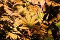 Japanese acer maple leaves backlit sun Stock Image