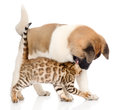 Japanese Akita inu puppy dog playing with small bengal cat. isolated on white