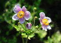 Japanese anemone anemone hupehensis colorful and crisp image of Royalty Free Stock Images