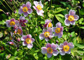 Japanese anemone anemone hupehensis colorful and crisp image of Royalty Free Stock Photos