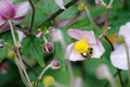 Japanese anemone flowers Royalty Free Stock Photo