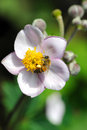 Japanese anemone flowers Royalty Free Stock Photos