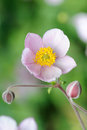Japanese anemone flowers Stock Image