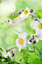 Japanese anemone flowers close up in the garden Stock Photography