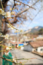 Japanese apricot Royalty Free Stock Photo