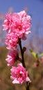 Japanese apricot flower Royalty Free Stock Photo