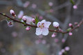 Japanese apricot flower Royalty Free Stock Photo