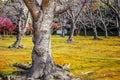 Japanese apricot at Koraku-en garden Royalty Free Stock Photo