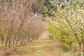 Japanese apricot tree Royalty Free Stock Photo