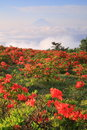 Japanese azalea with mt fuji yamanashi japan Stock Photography