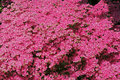 Japanese Azaleas in spring Stock Images