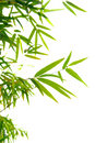 Japanese bamboo leaves on thin twigs Royalty Free Stock Photography