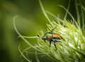 Japanese beetle a is crawling out of a wild carrot flower shot on a blurred natural green foliage background Royalty Free Stock Image