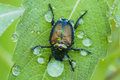 Japanese beetle in dew popillia japonica after the rain Royalty Free Stock Images