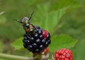 Japanese beetle mating and eating a blackberry Royalty Free Stock Photo