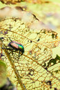 Japanese Beetle Popillia japonica on Leaf Royalty Free Stock Photo