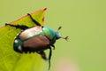 Japanese Beetle Popillia japonica on Leaf Royalty Free Stock Photo