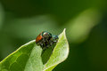 Japanese beetles reproducing on a milkweed leaf Royalty Free Stock Images