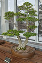 Japanese boxwood bonsai tree on a table Stock Images