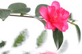 Japanese camellia flower on water flow background Royalty Free Stock Photo