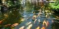 Japanese carp/Koi in pond Royalty Free Stock Photo