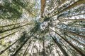 Japanese Cedar trees in the forest that view from below in Alishan National Forest Recreation Area in Chiayi County, Alishan Towns Royalty Free Stock Photo