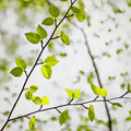 Japanese cherry birch new growth of leaves on a tree Royalty Free Stock Photo