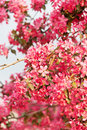 Japanese cherry with blossom Royalty Free Stock Photography