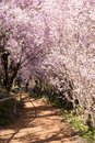 Japanese cherry Blossom of Tunnel & x28;Sakura tree& x29; spring season or Royalty Free Stock Photo