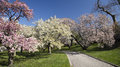 Japanese cherry blossoms blossom orchard in full bloom Stock Photo